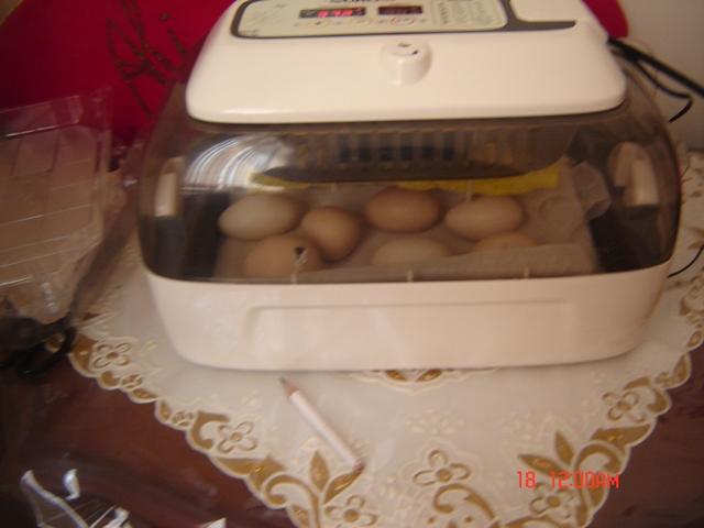 تخم مرغ ها در دستگاه جوجه کشی